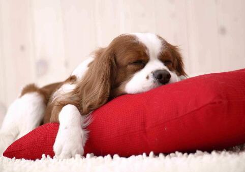狗狗吃瞭巧克力怎麼辦 給它吃巧克力小心中毒!