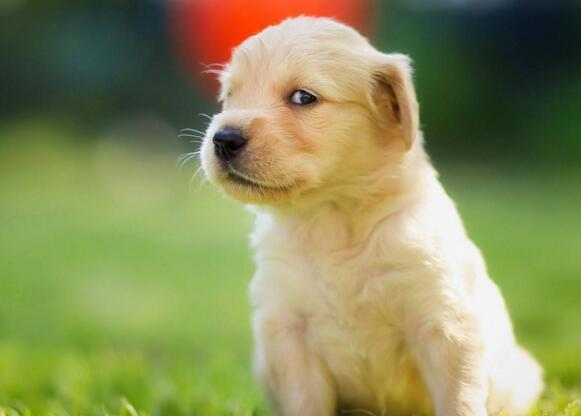 狗狗眼睛紅是怎麼回事 找出原因對癥處理