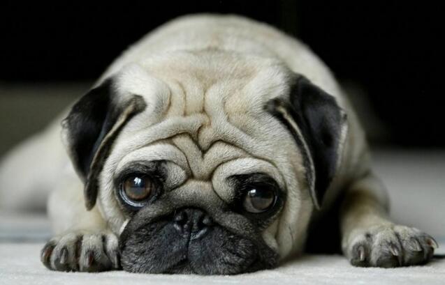 狗狗吃什麼美毛 吃東西也是有講究的