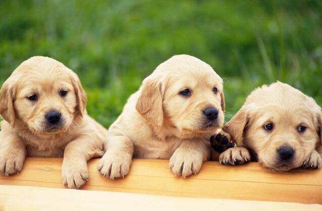 狗狗抽搐是怎麼回事 可能是犬瘟熱引起的