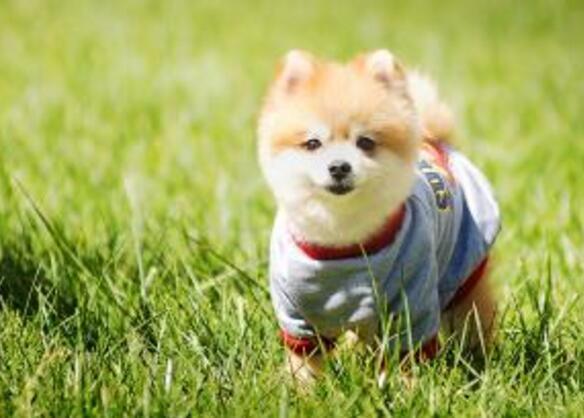 狗狗來大姨媽怎麼辦 狗狗生理期要註意這些