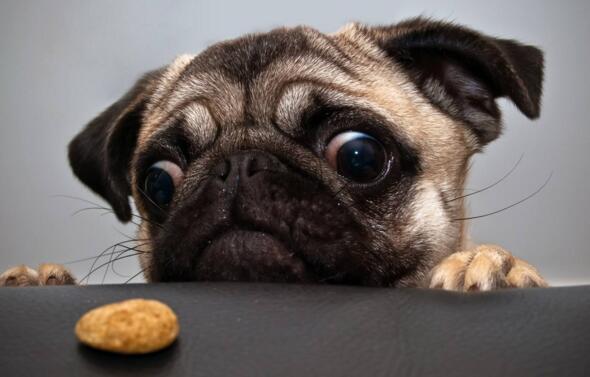 狗狗吃多瞭怎麼辦 吃多瞭會出現這些癥狀