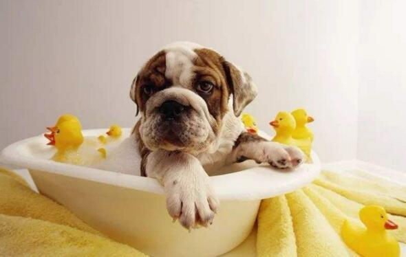狗狗什麼時候可以洗澡 要註意洗澡不宜過於頻繁