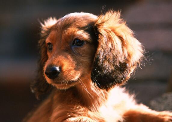 狗狗老瞭吃什麼 多給它吃點流食類食物