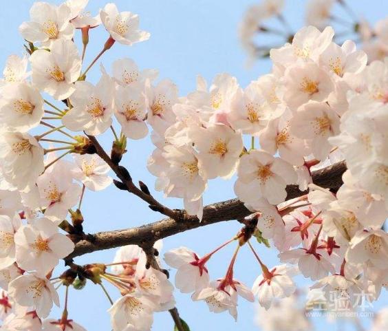樱花的花语火影忍者图片