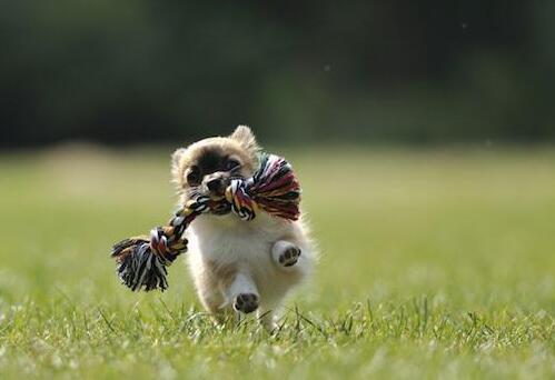 狗狗忠誠度大排名前十 第一竟然是拉佈拉多