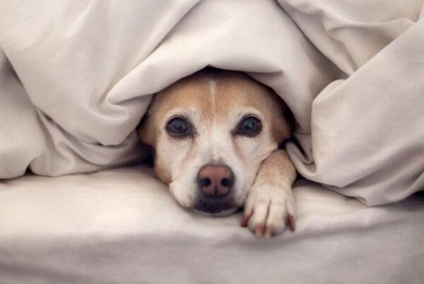 狗狗發情有哪些癥狀 發情周期可以分成4個階段