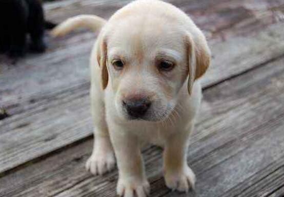 狗狗發燒怎麼辦最有效 發燒會有什麼癥狀