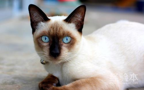 寵物貓的品種及價格 新手養貓註意事項