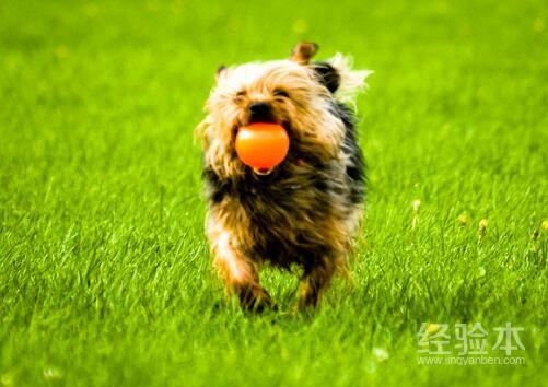 狗狗吃自己的便便是怎麼回事 鏟屎官這樣做可以糾正它