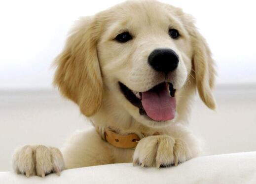 狗狗什麼時候來大姨媽 狗狗生理期的這些事兒你要清楚!
