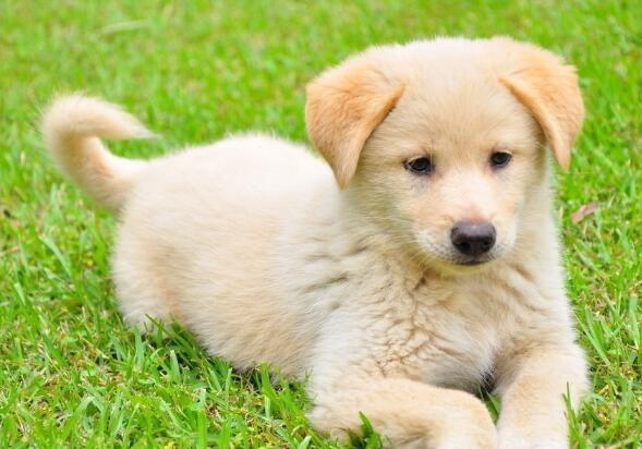 狗狗細小是什麼癥狀 要怎麼處理?會感染給人嘛?