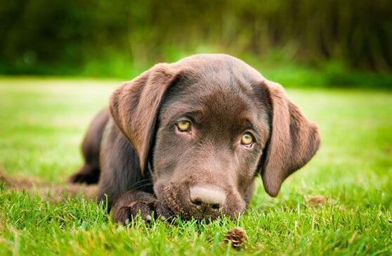 狗狗吃草是什麼原因 不用擔心,一般是屬於正常行為