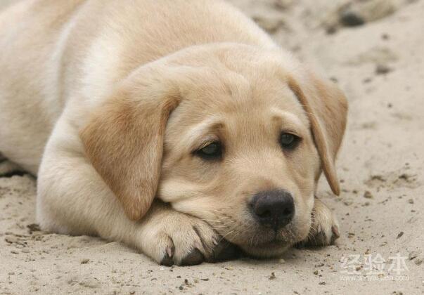狗狗咳嗽怎麼辦 可不一定就是感冒才會咳嗽