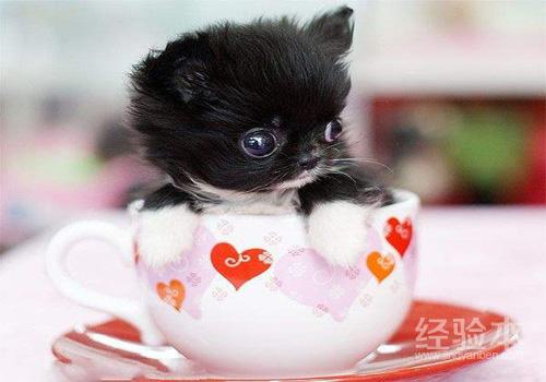 茶杯犬怎麼來的 茶杯犬怎麼養