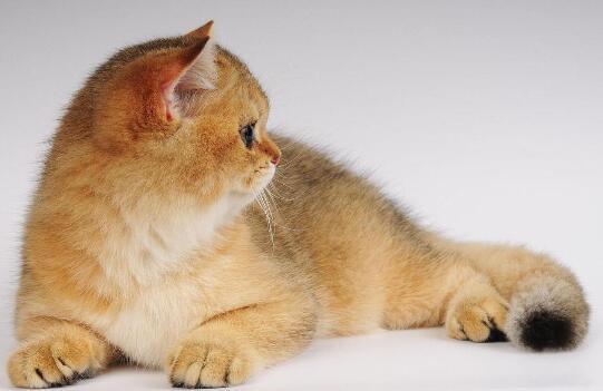 英國短毛貓吃什麼貓糧好 這些食物不適合它吃