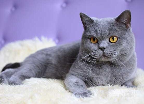 灰色英国短毛猫图片