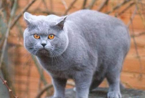 英國短毛貓和藍貓區別 可從這6個方面來看