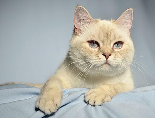 英國短毛貓能活多久 想延長它的壽命,主人得這麼做!
