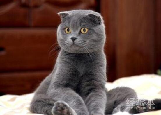 英国短毛猫颜色大全图片