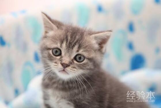 英国短毛猫颜色分类图片