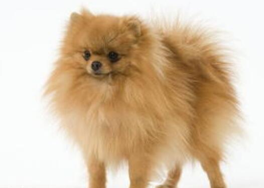 博美犬智商全世界排第幾 它可是很聰明的哦!