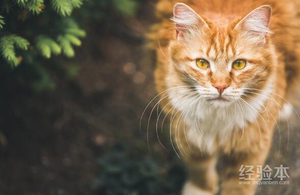 英國短毛貓純種多少錢 怎麼買到便宜有純正的英短呢?