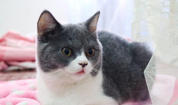 英國短毛貓喜歡吃什麼 哪些食物不能吃