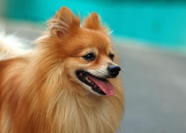 博美犬性格怎麼樣特點 有什麼優缺點呢