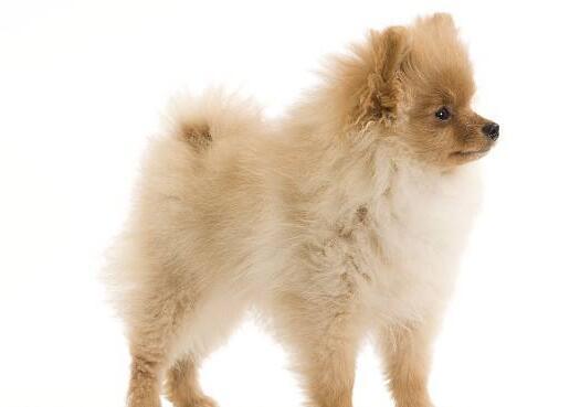 博美犬的壽命是多少年 這樣做可以延長它的壽命!