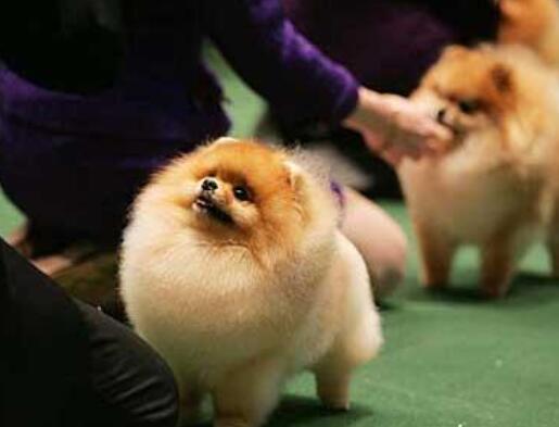 博美犬怎麼看純不純 可以根據這些特征買到純種博美!