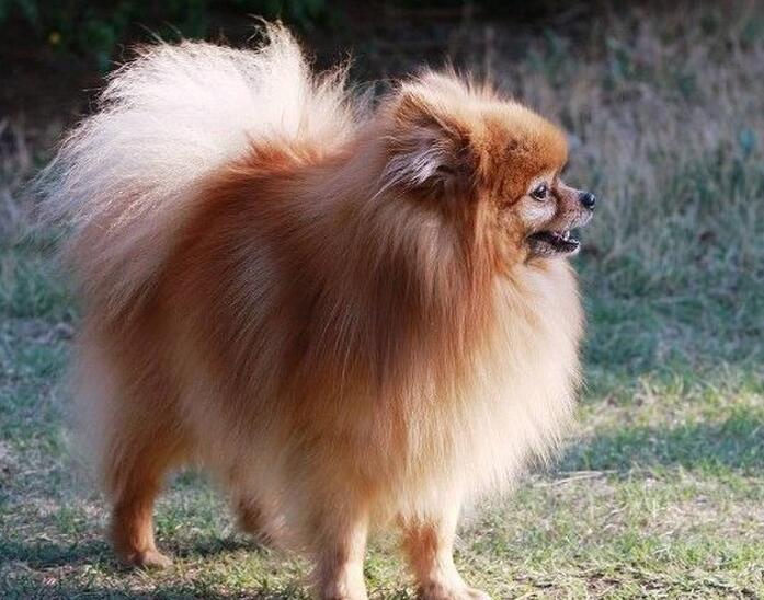 博美幼犬什麼時候剪毛 最好不要給它全剃光!