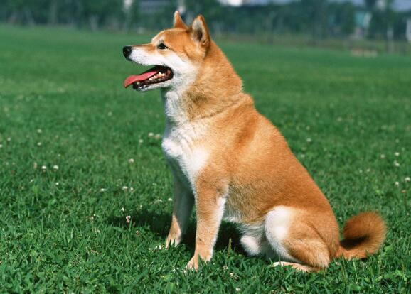 柴犬吃什麼狗糧好 需求不同狗糧要求也不同