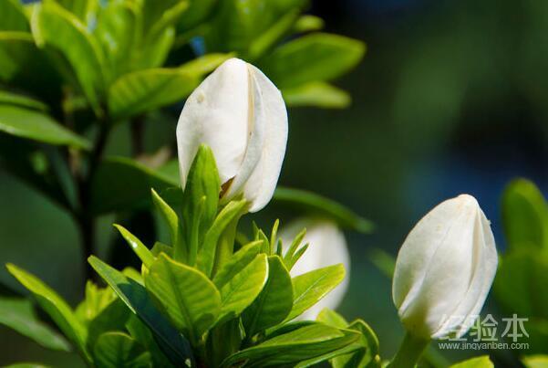 盆栽栀子花怕冷吗图片