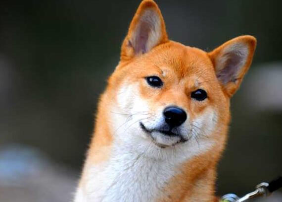 柴犬耳朵多久豎起來 不能正常豎立是什麼情況?
