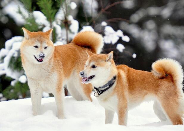 柴犬如何看品相 教你挑純種柴犬的方法