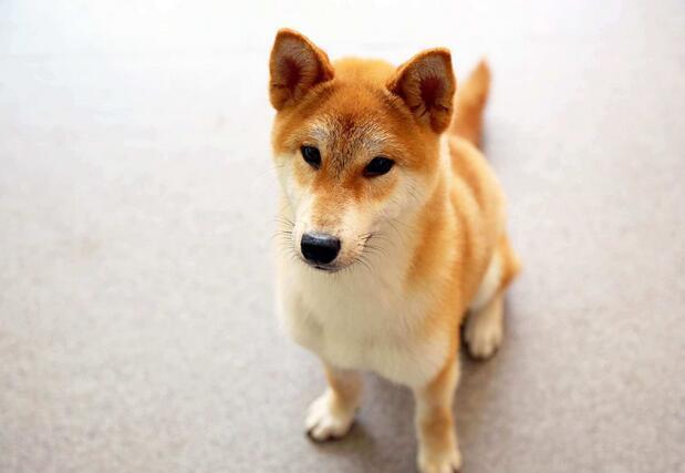 養柴犬一個月花費多少 其實買一隻柴犬費用更高!