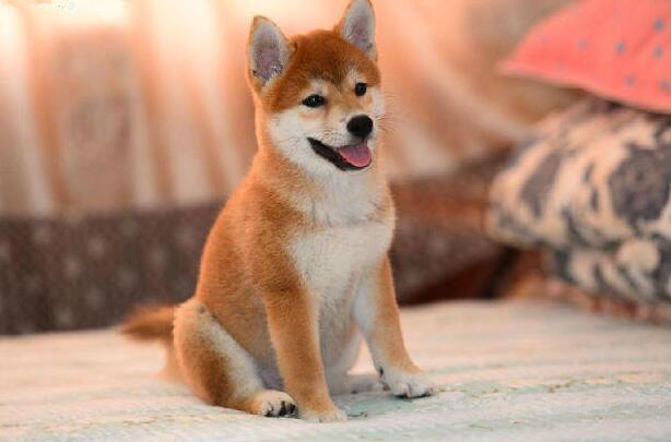柴犬為什麼那麼貴 怎麼能買到便宜的柴犬!