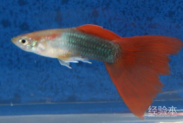 孔雀魚怎麼分公母 雄雌孔雀魚原來是這樣辨別!