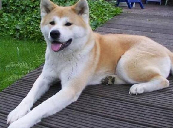 養秋田犬一個月多少錢 你做好花錢的準備瞭嗎