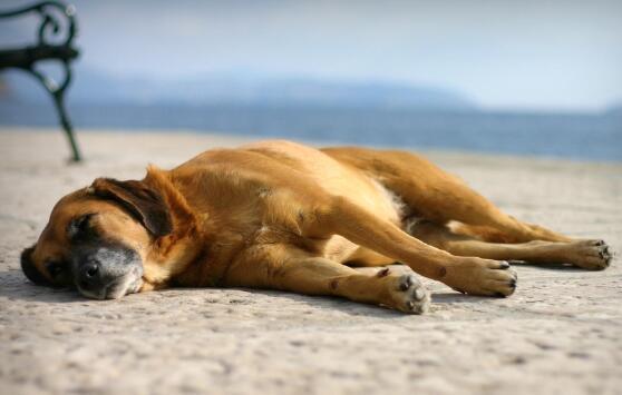 秋田犬吃什麼狗糧好 怎麼給它挑選好的狗糧?