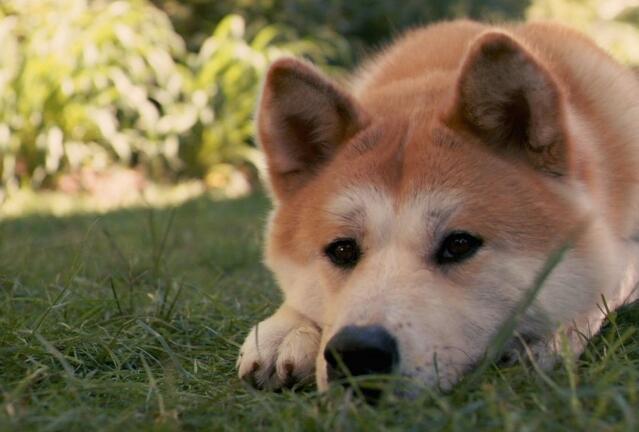 秋田犬壽命多少年 壽命長短要看你是否精心養護!