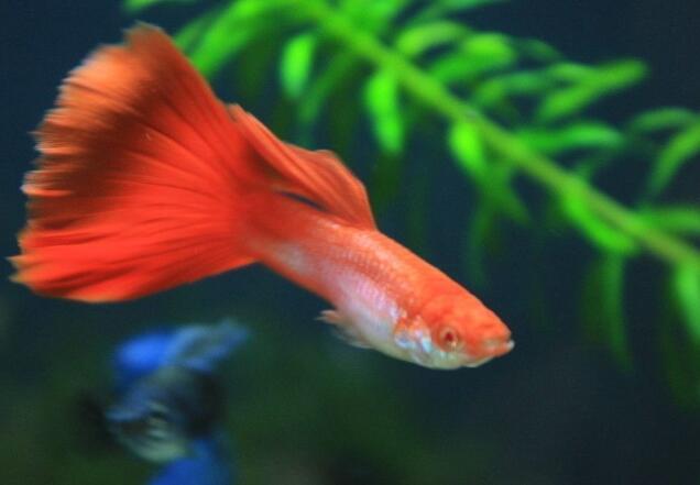 孔雀魚小魚多久能和大魚一起 不要太早放小心被吃掉!