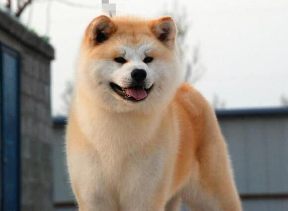 秋田犬什麼時候立耳 耳朵立不起來什麼情況?要怎麼辦?