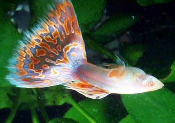 孔雀魚難產有什麼癥狀 要及時采取這些處理措施!