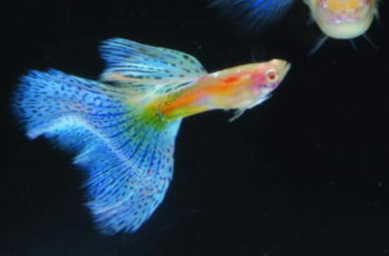 孔雀魚多久喂一次 喂養一定要清楚這些