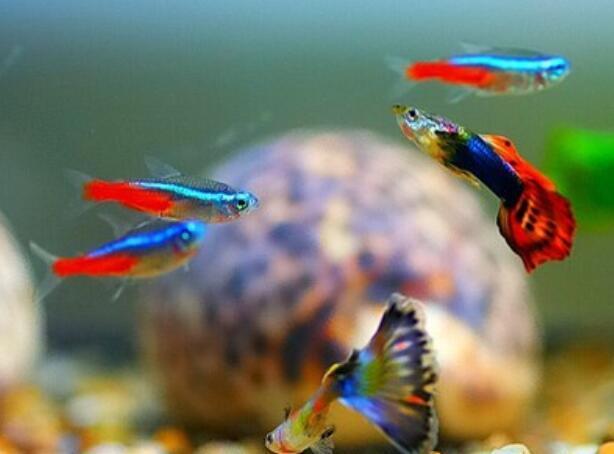 孔雀魚懷孕特征 教你判斷孔雀魚是否懷孕的辦法!