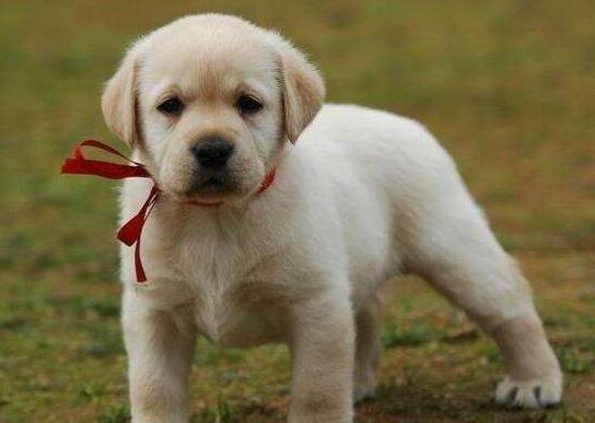 一個月拉佈拉多幼犬怎麼喂養 可以給它洗澡嗎