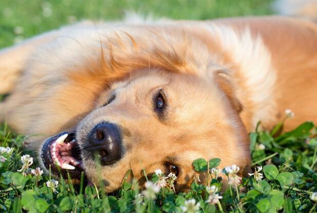 金毛幼犬可以吃蛋黃嗎 一定要註意科學喂食