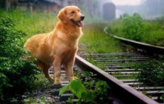 為什麼金毛犬身上有臭味 出現異味的根本原因有這幾種